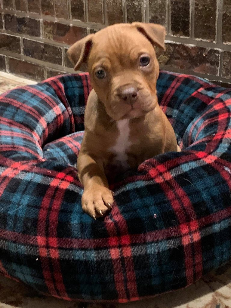 Beautiful brown puppy in a puppy bed